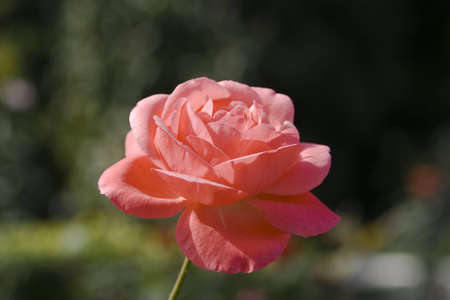 Background of Beautiful blooming rose  photo