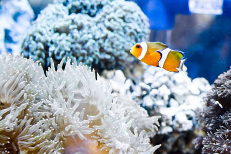 Clown fish amongst the stinging tentacles of the sea anemone Stock Photo - 3837624