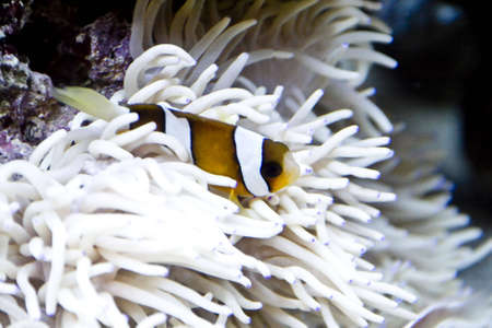 Clown fish amongst the stinging tentacles of the sea anemone Stock Photo - 3837620