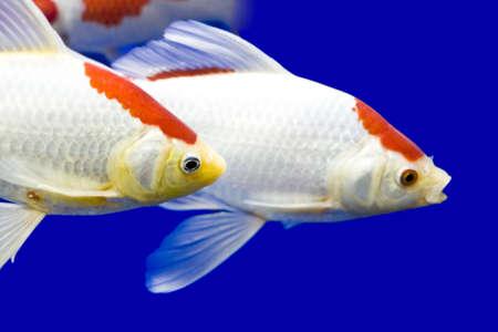Big colorful Koi carp in a aquarium photo