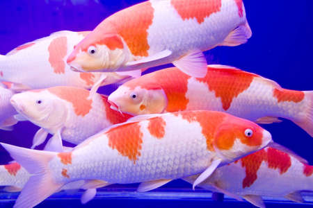Big colorful Koi carp in a aquarium photo