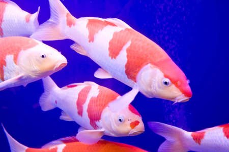 Big colorful Koi carp in a aquarium Stock Photo