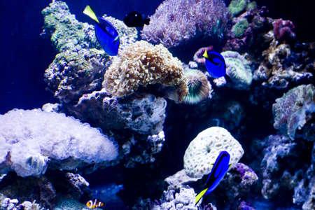 Coral colony and coral fish in a sea aquarium photo