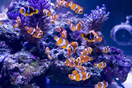 clown fish and beautiful coral in a sea aquarium Stock Photo - 3837642