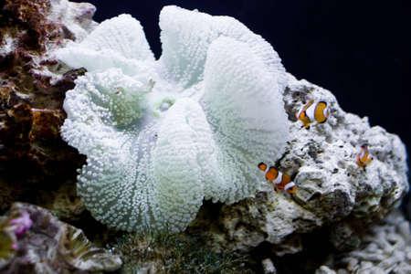 clown fish and beautiful coral in a sea aquarium Stock Photo - 3837634