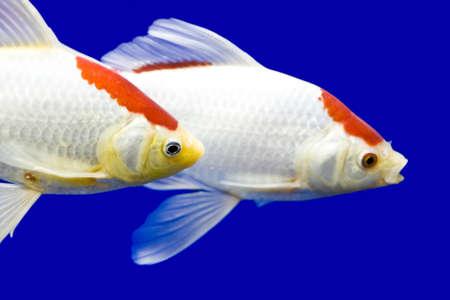 Big colorful Koi carp in a aquarium Stock Photo - 3956315
