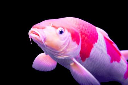 pez carpa: Colorida grande carpa Koi en un acuario