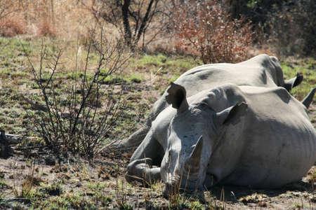 ponderous: Rhinoceros in the South African safari park