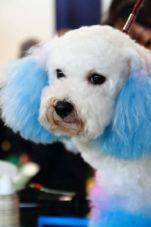 A closeup poodle with multi-blue hair