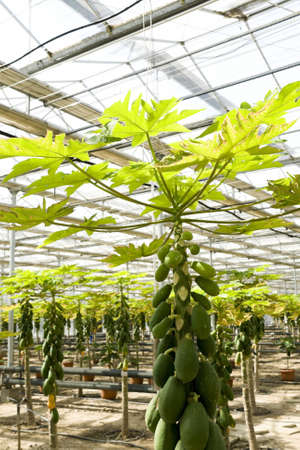 Papaya cultivation in greenhouses in beijing photo