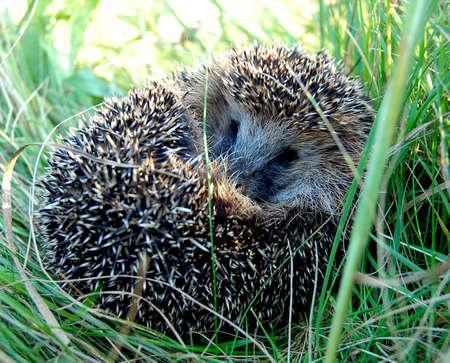 野草: ハリネズミ木製動物野草をレイアウトする縮小ボール危険緑色トゲ