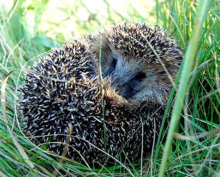 prickle: hedgehog wood animal wild grass to lay be curtailed ball danger green prickle