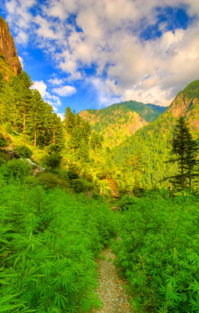 bud weed: Parvati Valley, North India Stock Photo