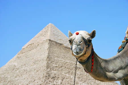 Camels taking a commemorative photo against the backdrop of a pyramid