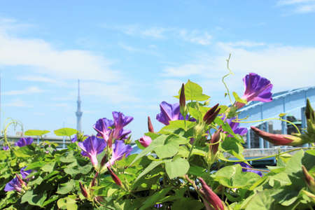 Purple Morning Glory Flowers along the Sumida river