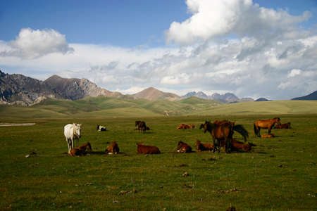Grazing horses in Song Kol, Kyrgyzstan