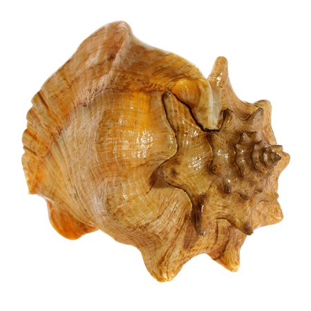 sea shell  macro isolated on white  background closeup, Stock Photo - 21970537