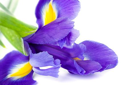 blueflag: Azul bandera azul iris o una flor aislada en el fondo blanco Foto de archivo