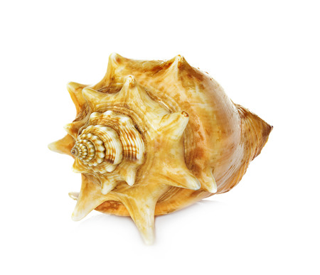 oceanic: sea shell isolated on white background