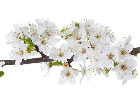 Apple flowers branch isolated on a white