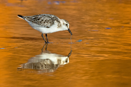 Sanderling feeding at South Dune on Havre-aux-Maisons in Magdalen Islands, Quebec Stock Photo