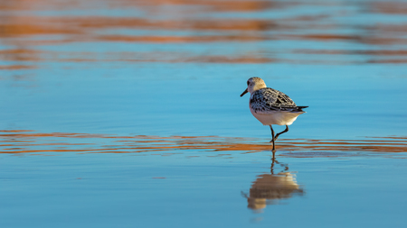 Sanderling reflecting in water at South Dune on Havre-aux-Maisons in Magdalen Islands, Quebec Stock Photo
