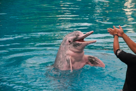 pink dolphin: happy pink dolphin with a human besides clapping