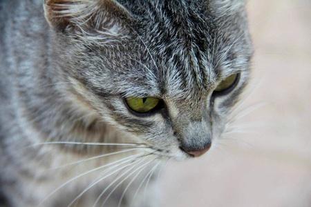 gato gris: amarillo ojos verdes de un gato gris Editorial
