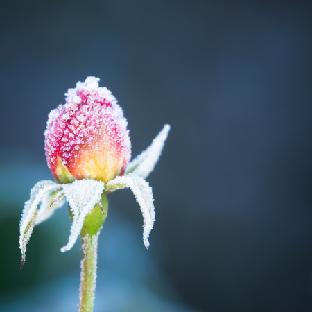 Pink Rosebud Covered In Frost With Blue Background