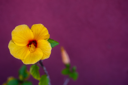 Background Image of Tropical Yellow Hibiscus Against Magenta Background With Copy Space