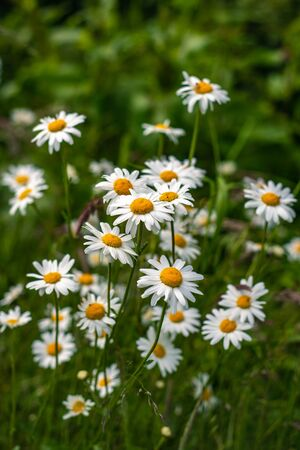 Daisies Growing Wild in a Meadow at the Edge of a Forest Stock fotó