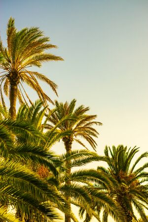 Background Image of Tall Palm Trees at Dawn With Copy Space