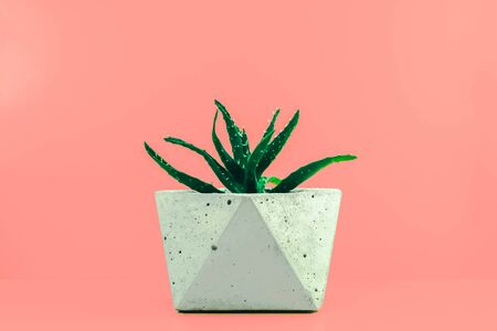Succulent House Plant in Concrete Pot On Coral Background With Copy Space