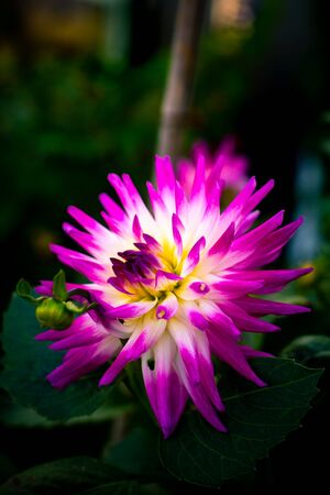 Close Up of a Magenta Yellow and White Dahlia Blooming in a Garden in September Stock fotó