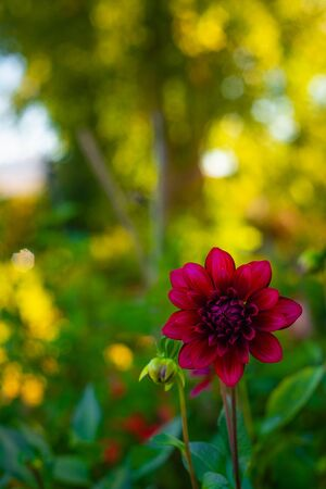 Red Dahlia With Beautiful Green and Yellow Bokeh Leafy Background