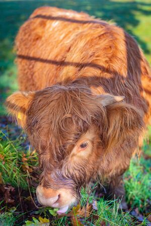 Close Up of a Cute Baby HIghland Cow Eating Grass in a Pasture