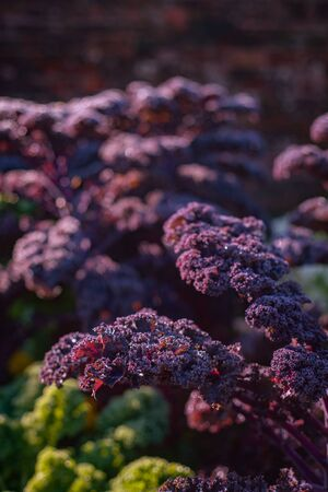 Beautiful Vibrant Purple Curly Kale Growing in a Garden With Bokeh Copy Space