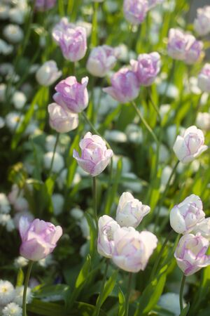 Beautiful Soft Focus Lilac and White Tulips in a Sunlit Garden