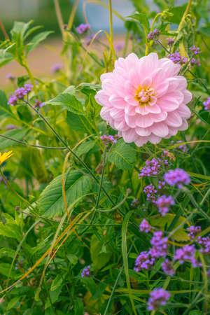 Pink Dahlia in Bloom in an English Garden