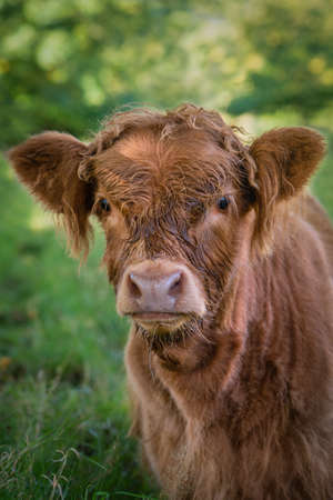Close Up of a Baby Highland Cow in a Pasture in Scotland