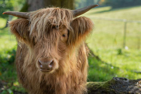 Close Up of a Blonde Highland Cow in Scotland with Copy Space