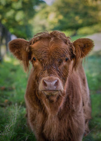 Close Up of a Baby Highland Cow in Pollok Country Park in Glasgow Scotland Imagens