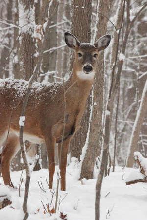white tail deer in winter mode 版權商用圖片