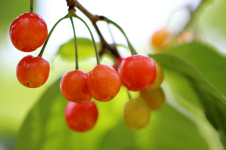 familiar: The cherry is familiar