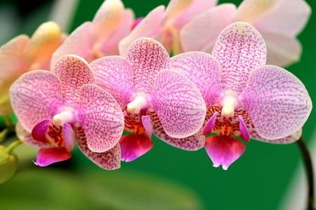 blomming: orchid