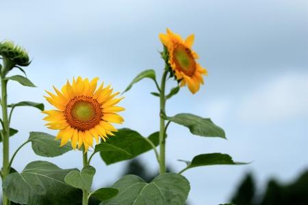 blomming: sunflower