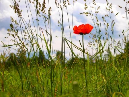 lone poppy flower on a  field Stock Photo