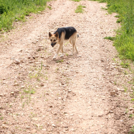 vagrant dog on a country road
