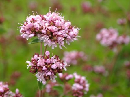 wild marjoram: flowering wild marjoram