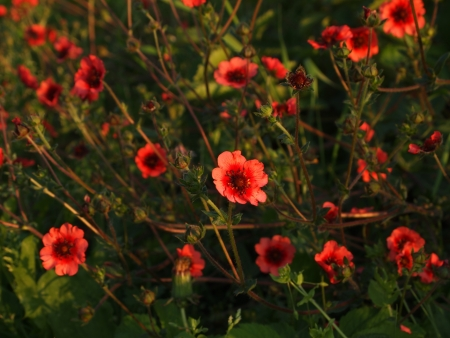 cinquefoil in the light of the sunset Stock Photo